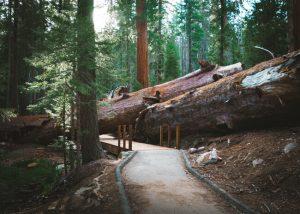 Trail-Of-100-Giants-Sequoia-California