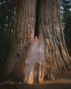 Trail-of-100-giants-sequoia