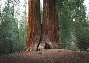 Trail-of-a-hundred-giants-Sequoia-National-Forest-California