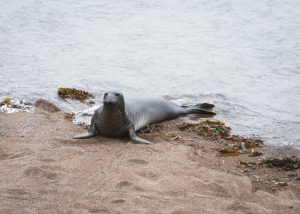 Elephant-seals-san-simeon-bay-trail-William-Randolph-Hearst-Memorial-Beach