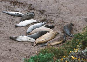 elephant-seals-san-simeon-bay-trail-california