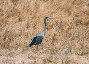 Birds-of-Fiscalini-Ranch-Preserve
