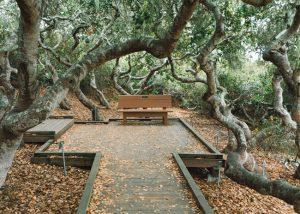 Elfin-Forest-Natural-Area-Pygmy-Oak