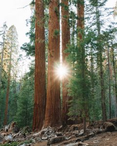 Trail-of-100-Giants-Hikes-Sequoia-National-Forest